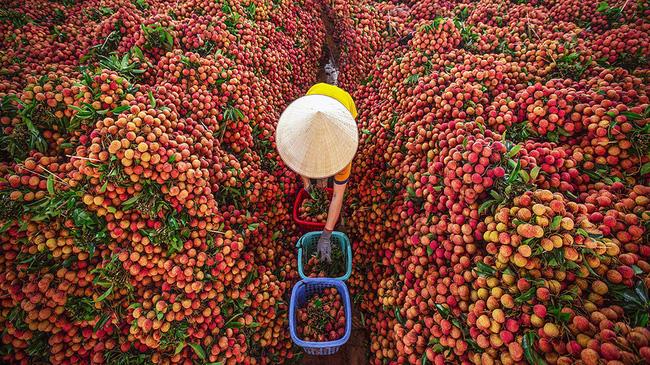 Efforts underway to export 100 tonnes of lychees to Australia